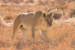 Lioness in Kalahari Desert. Southern Africa Royalty Free Stock Images