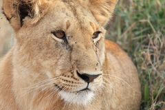 Lioness on The Kenyan savannah. Majestic female lion calmly in The Royalty Free Stock Photo