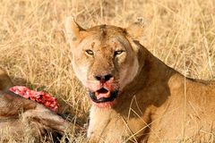 Lioness with a kill. In the park Stock Images
