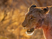 Lioness after the kill. Image of a lioness covered in blood after feeding on a kill. She was seen in the Kruger national Park, South Africa walking to the river Stock Image