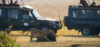 Lioness killed wildebeest. Great Migration. Kenya. Tanzania. Masai Mara National Park. An excellent illustration Royalty Free Stock Photo