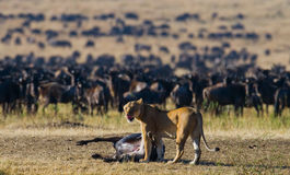 Lioness killed wildebeest. Great Migration. Kenya. Tanzania. Masai Mara National Park. Royalty Free Stock Image