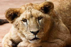 Lioness kitty Stock Photography