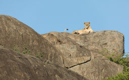 Lioness on a Kopje in the Serengeti, Tanzania Royalty Free Stock Images