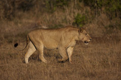 Lioness in Kruger Royalty Free Stock Photos
