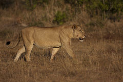 Lioness in Kruger Stock Photo