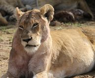 Lioness in Kruger National Park stock photo