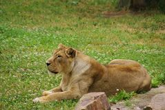 Lioness laying Royalty Free Stock Image