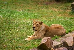 Lioness laying Stock Photos