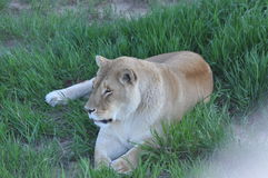 Lioness laying down in a grassy spot Stock Images