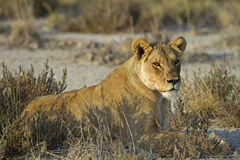 Lioness laying in grass-field Stock Photography
