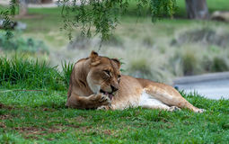Lioness. A lioness laying in the grass licking her paw Royalty Free Stock Image