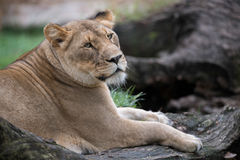 Lioness laying on logs Royalty Free Stock Images