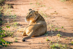 Lioness laying in the road in the Mkuze Game Reserve. Royalty Free Stock Photo