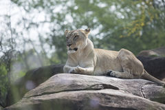 Lioness laying on rocks Stock Image