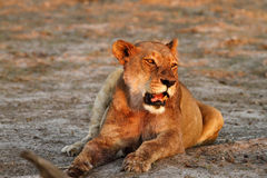 Lioness Lazing Stock Photos