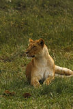 Lioness Lazing. Safari view of lions on the African plains Royalty Free Stock Images