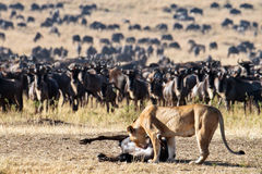 Lioness leans toward the carcass wildebeest. In front of a large herd of wildebeest who are collected in a large herd for the crossing river Mara, Masai Mara Royalty Free Stock Photos