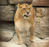 Lioness licked Royalty Free Stock Photography