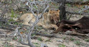 Lioness licking her prey after hunting. In the Savanna – South Africa Stock Photography