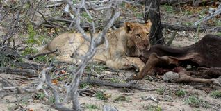 Lioness licking her prey in the Savanna. – South Africa Stock Image