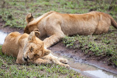 Lioness licking its paw stock images