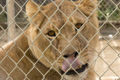 Lioness Licks Stock Photo