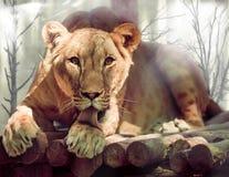 Lioness licks his paw Stock Photo