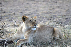 The lioness lies having turned the head Royalty Free Stock Photography