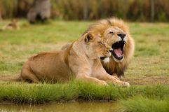 Lioness and Lion. A lion couple in the lion park near Johannisburg, South Africa Stock Images