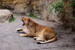 Lioness. Lion basking in the sun Royalty Free Stock Image