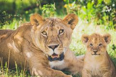 Lioness and lion cub laying in the grass looking straight at the photographer. royalty free stock photos