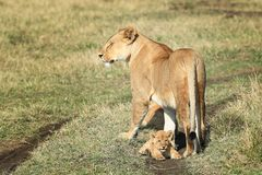 The lioness and the lion cub Stock Photo