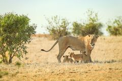 Lioness with lion cubs. In sun burned savannah with some green bushes Royalty Free Stock Photos