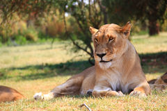 Lioness in the Lion Park Royalty Free Stock Photo
