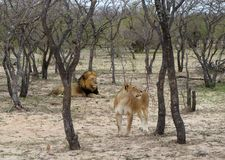 Lioness and lion in the Savanna. – South Africa Royalty Free Stock Photos