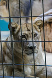Lioness. The lion in the zoo of Berlin Stock Image