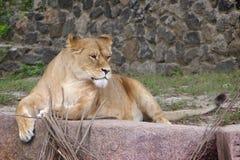 Lioness. stock photo