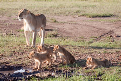 Lioness and Litter Royalty Free Stock Images