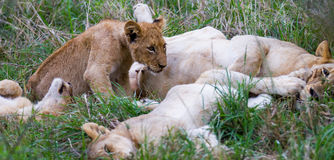 Lioness and a Litter of Nursing Cubs Royalty Free Stock Photo