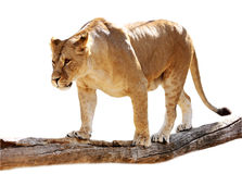 Lioness on a log. Big beautiful lioness stands on a log stock photos