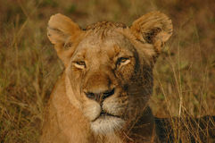 Lioness, Londolozi Private Game Reserve, Kruger National Park, S Royalty Free Stock Image