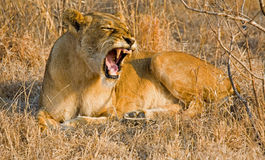 Lioness in long grass. A lioness roaring in the grass in South Africa Royalty Free Stock Images