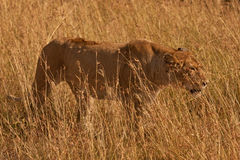 Lioness in long grass Stock Image