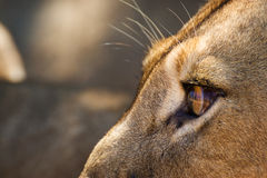 Lioness Looking. A lioness stares at its prey watching every move before attempting to attach Stock Image