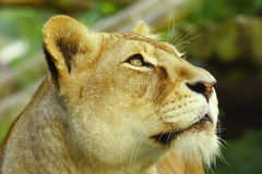 Lioness looking Royalty Free Stock Photography