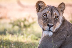 Lioness Looking Back In The Kgalagadi. Royalty Free Stock Photos
