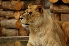 Lioness looking beautiful at her territory in the cage at a zoo. Lioness looking beautiful her territory in the cage at a zoo. Picture taken at `terra natura` Stock Image