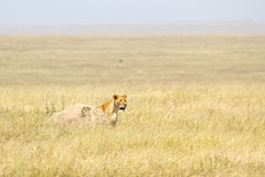 Lioness looking behind a stone Stock Images