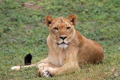 Lioness looking into camera Stock Photo